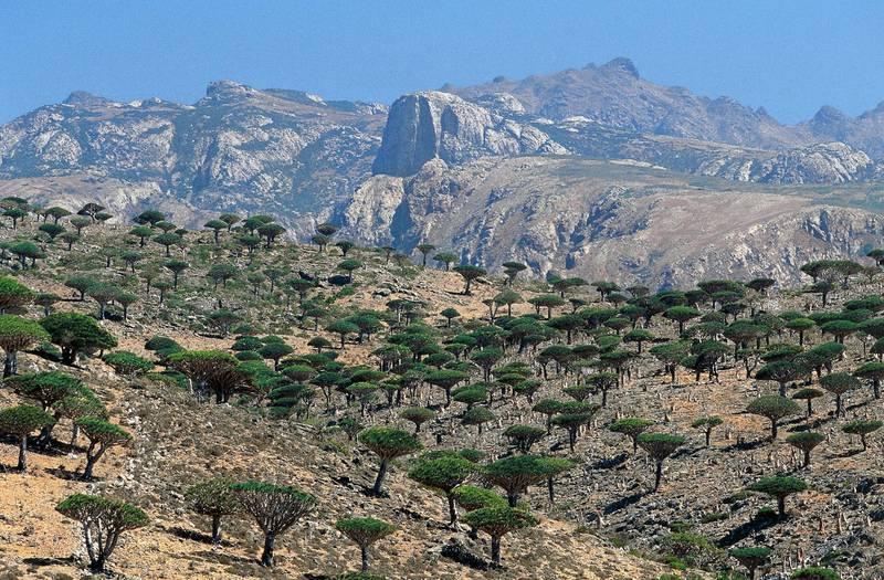 YEMEN - NOVEMBER 09: Socotra Dragon Trees or Dragon Blood Trees (Dracaena cinnabari), Asparagaceae, Haggier Mountains, Socotra Island (Unesco World Heritage Site, 2008), Yemen. (Photo by DeAgostini/Getty Images)