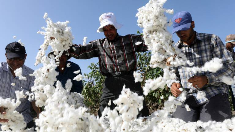 An image that illustrates this article Bumper crop at Egypt's largest cotton producer - in pictures