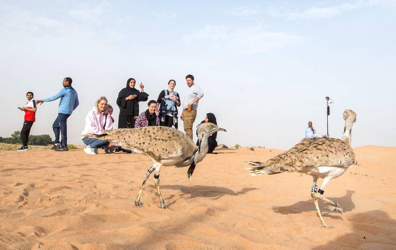 AL AIN, UNITED ARAB EMIRATES - Houbara birds upon their released at the release of 50 Houbara birds into their Habitat of the UAE desert by The International Fund for Houbara Conservation (IFHC).  Leslie Pableo for The National