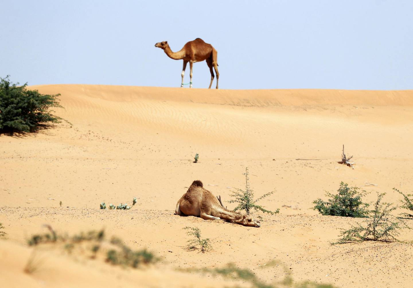 Umm Al Quwain, United Arab Emirates - Reporter: N/A: Standalone. A camel takes a rest during the hottest part of the day in the desert. Wednesday, March 11th, 2020. Umm Al Quwain. Chris Whiteoak / The National