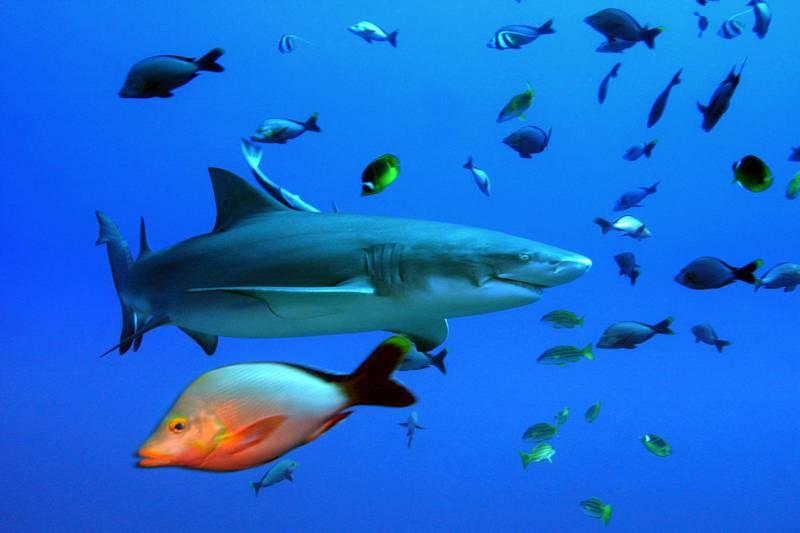 A lemon shark swims off the coast of Moorea, the sister island to Tahiti, French Polynesia.    AFP PHOTO VALERIE MACON / AFP PHOTO / VALERIE MACON