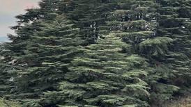 Climate change is slowly killing the iconic Lebanese cedar tree