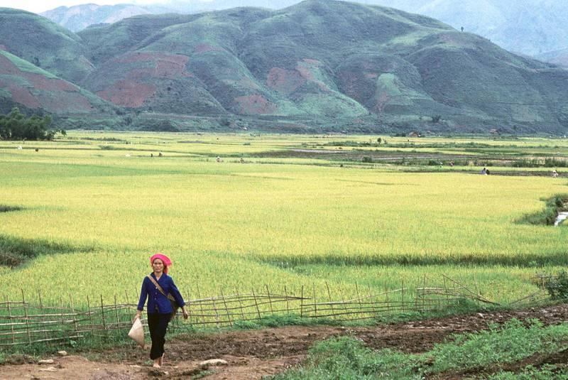 VIETNAM - CIRCA 1900:  Binh Lu rice-field in Vietnam.  (Photo by JNS/Gamma-Rapho via Getty Images)