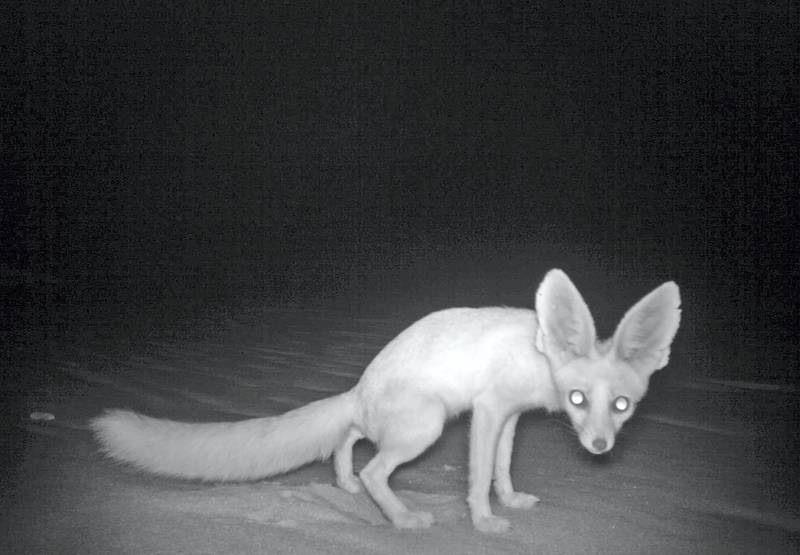This is the first sighting of the rare Rüppell's fox (Vulpes rueppellii) in 13 years. Environment Agency – Abu Dhabi