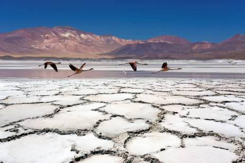 Chilean Flamingos (Phoenicopterus chilensis) flying over Alues Calientes Lagoon at approx. 3600m in the Atacama Desert in Northern Chile