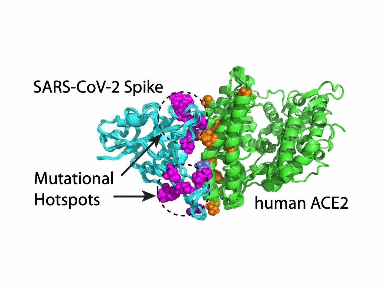 Graphic showing the coronavirus binding to the ACE2 receptor of human cells. Courtesy NYU Abu Dhabi