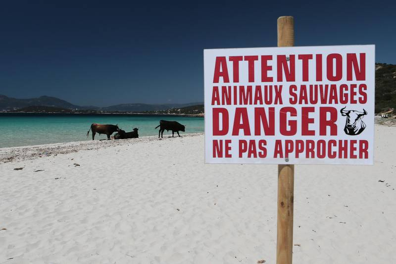 """A sign reads """"Attention, wild animals, danger, stay away"""" near cows on the Mare e Sol beach in Coti-Chiavari, on the French Mediterranean island of Corsica, on May 17, 2017. - A herd of some thirty wild cattle take up their summer residence on stretch of beach each year. (Photo by PASCAL POCHARD-CASABIANCA / AFP)"""