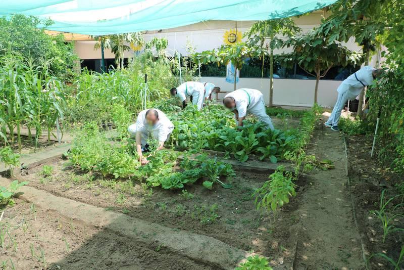 Inmates at Dubai Central Jail work in the organic farm. Nilanjana Gupta/ The National