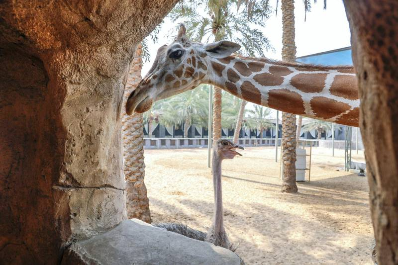 Abu Dhabi, United Arab Emirates, August 4, 2019.  Breakfast with giraffes at the Emirates Park Zoo. —  Two ostriches are part of the enclosure with Amy and Mary the giraffes. Victor Besa/The NationalSection:  NAReporter:  Sophie Prideaux