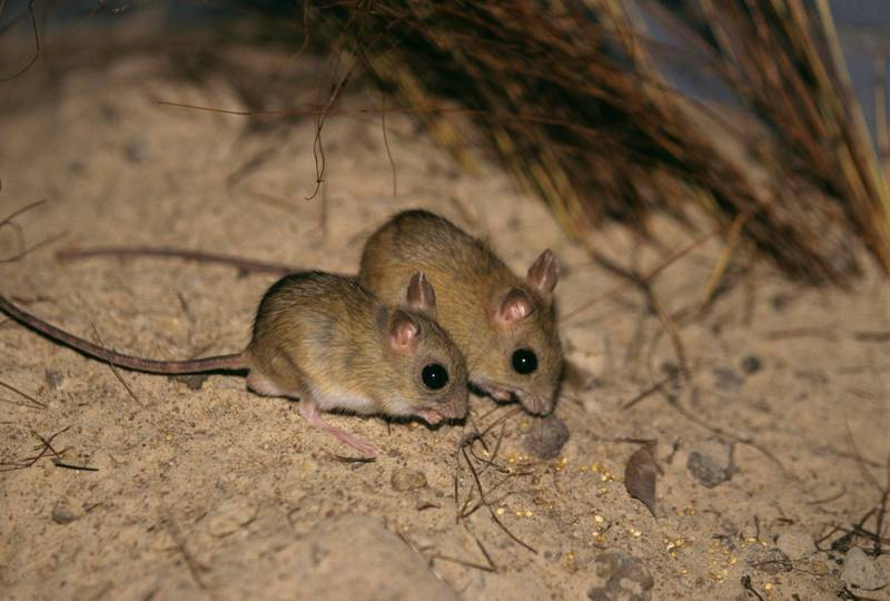 Notomys aquilo grows to about 11 cm long, weighs merely 25 to 50 grams, Vulnerable species. Getty Images