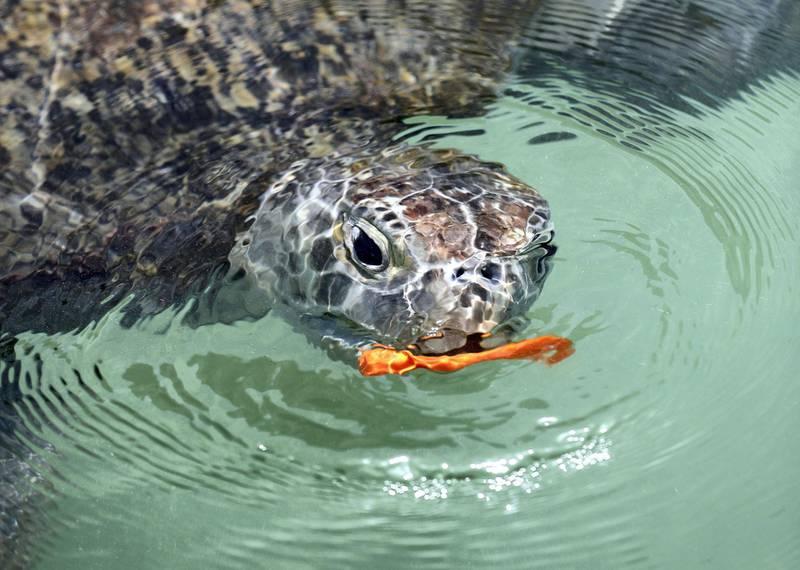 Dubai, United Arab Emirates - April 18th, 2018: Photo project. The Dubai turtle rehabilitation project. The turtles swim in the manmade lagoon. Wednesday, April 18th, 2018 at Jumeirah Al Naseem, Dubai. Chris Whiteoak / The National