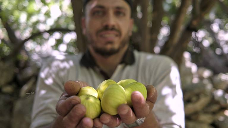 An image that illustrates this article The fig harvest in Iraq - in pictures