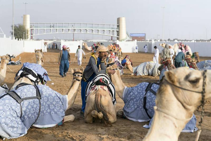 DUBAI, UNITED ARAB EMIRATES - Feb 15, 2018.  Camels and their caretakers get ready behind Al Marmoum Race Track.  The fastest camels in the Gulf will compete for cash, swords, rifles and luxury vehicles totalling Dh95 million at the first annual Sheikh Hamdan Bin Mohammed Bin Rashid Al Maktoum Camel Race Festival in Dubai.   (Photo: Reem Mohammed/ The National)  Reporter: Section: NA