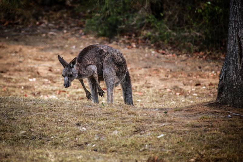 An injured kangaroo stands in a paddock near Nowra, New South Wales, Australia, on Tuesday, Jan. 14, 2020. The Australian fires have burned across an area twice the size of Switzerland while claiming at least 28 lives and destroying thousands of homes. Prime MinisterScott Morrisonsaid the nation must become more resilient to the impacts of climate change, andproposeda review of the government's response to the wildfire crisis. Photographer: David Gray/Bloomberg