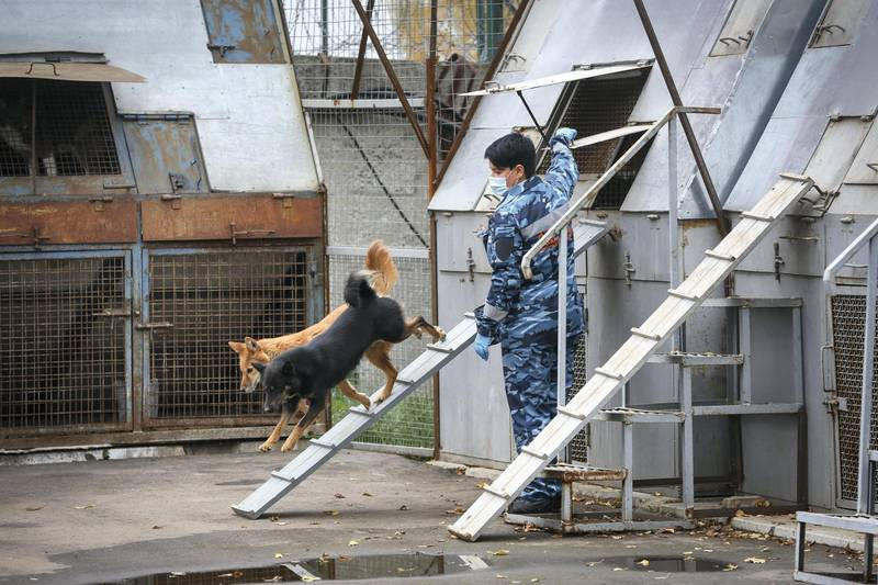 An employee releases dogs from a kennel during explosive material and Covid-19 detection training at the Aeroflot PJSC canine training facility in Moscow, Russia, on Friday, Oct. 9, 2020. Russia posted a record number of new Covid-19 cases Friday as the government has resisted returning to a lockdown to battle the second wave of infections. Photographer: Andrey Rudakov/Bloomberg via Getty Images