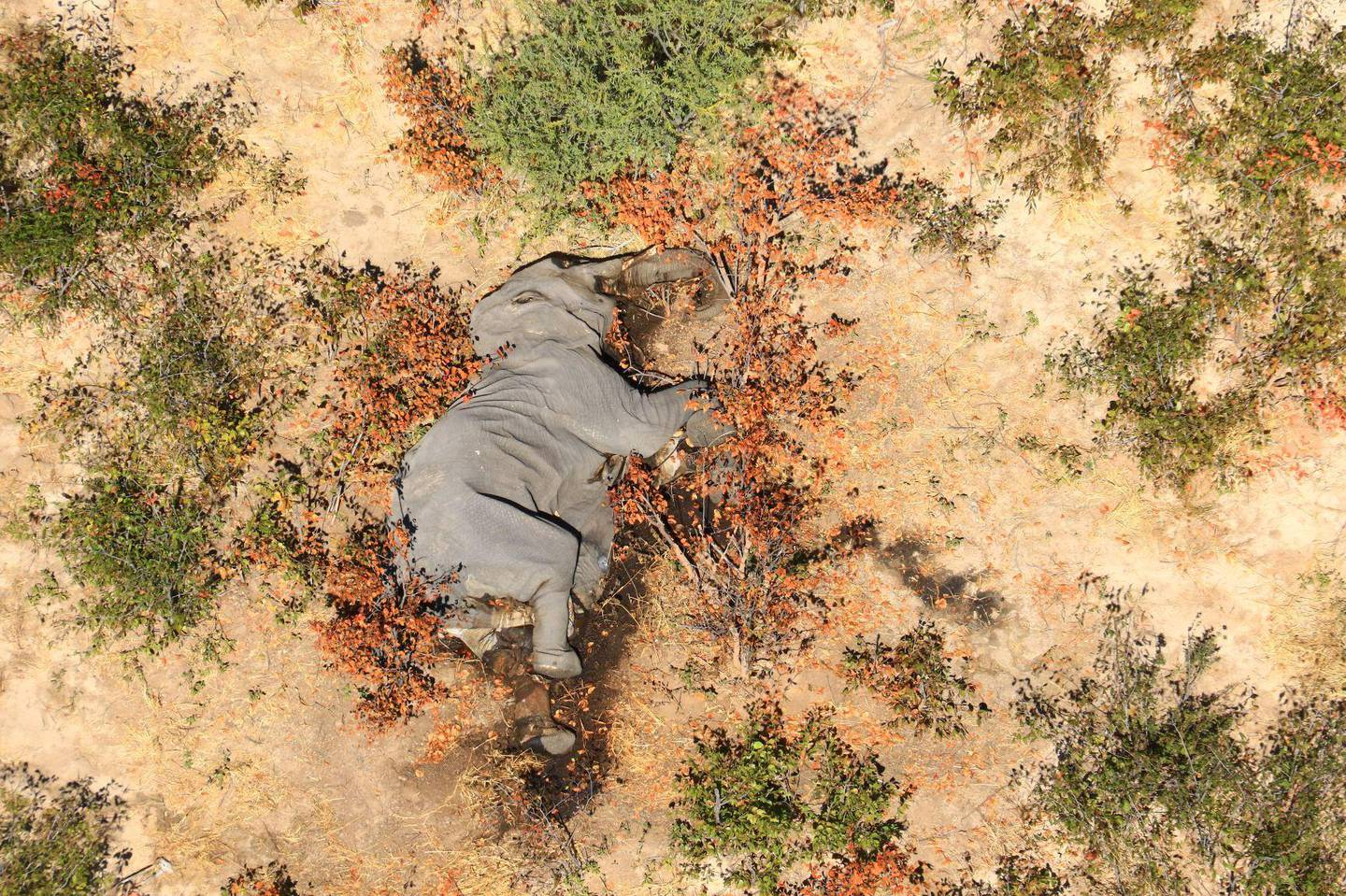 """(FILES) In this file photo taken on May 25, 2020 and provided on July 3, 2020 courtesy of the National Park Rescue charity shows the carcass of one of the many elephants which have died mysteriously in the Okavango Delta in Botswana.  Hundreds of elephants that died mysteriously in Botswana's famed Okavango Delta succumbed to bacteria found in the water pans, the wildlife department revealed on September 21, 2020. - RESTRICTED TO EDITORIAL USE - MANDATORY CREDIT """"AFP PHOTO /NATIONAL PARK RESCUE"""" - NO MARKETING - NO ADVERTISING CAMPAIGNS - DISTRIBUTED AS A SERVICE TO CLIENTS  / AFP / NATIONAL PARK RESCUE / - / RESTRICTED TO EDITORIAL USE - MANDATORY CREDIT """"AFP PHOTO /NATIONAL PARK RESCUE"""" - NO MARKETING - NO ADVERTISING CAMPAIGNS - DISTRIBUTED AS A SERVICE TO CLIENTS"""