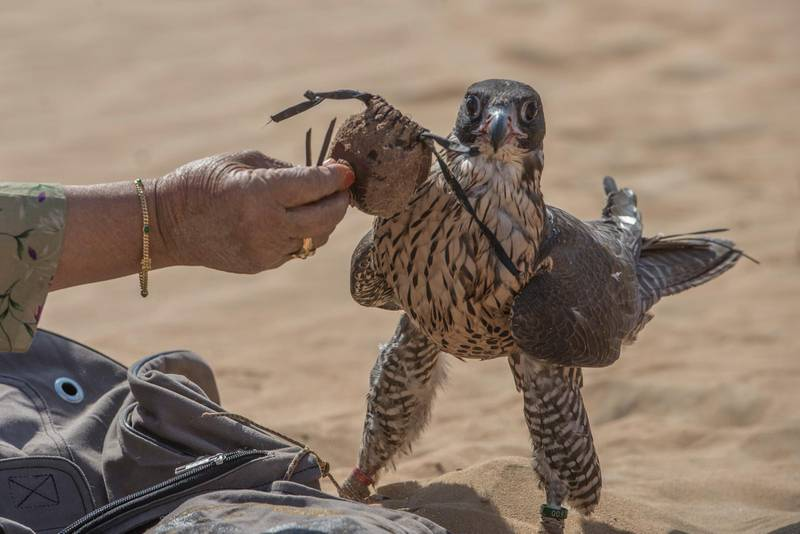 Afrah hoods the falcon after the hunt, hooding keeps the falcon  calm and stay focussed,Abu Dhabi,UAE,Vidhyaa for The National