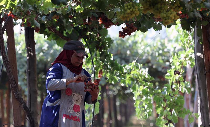 epa09270112 A worker harvests grape at the farm in Khatatba al-Minufiyah Governorate in Egypt, 14 June 2021. Table grape of this farm is exported to the EU countries, mainly Germany, England and Netherlands.  EPA-EFE/KHALED ELFIQI *** Local Caption *** 56967186