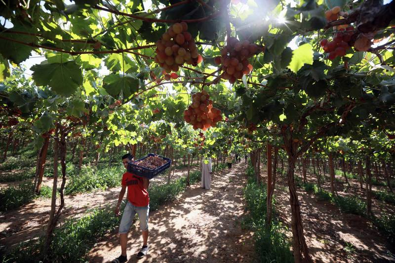 epa09270381 A worker harvests grape at the farm in Khatatba al-Minufiyah Governorate in Egypt, 14 June 2021. Table grape of this farm is exported to the EU countries, mainly Germany, England and Netherlands.  EPA-EFE/KHALED ELFIQI *** Local Caption *** 56967461