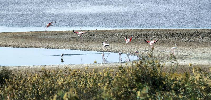 Abu Dhabi, U.A.E., November 13, 2018.  Etihad Airways and Environment Agency-Abi Dhabi launch the Abu Dhabi Birdathon to commemorate the Year of Zayed at the Al Wathba Wetland Reserve, Abu Dhabi.Victor Besa / The NationalSection:  NAReporter:  Haneen Dajani