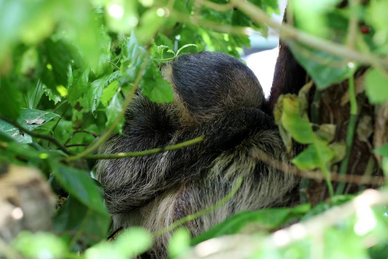 Dubai, United Arab Emirates - July 03, 2019: Two toed sloth. The Green Planet for Weekender. Wednesday the 3rd of July 2019. City Walk, Dubai. Chris Whiteoak / The National