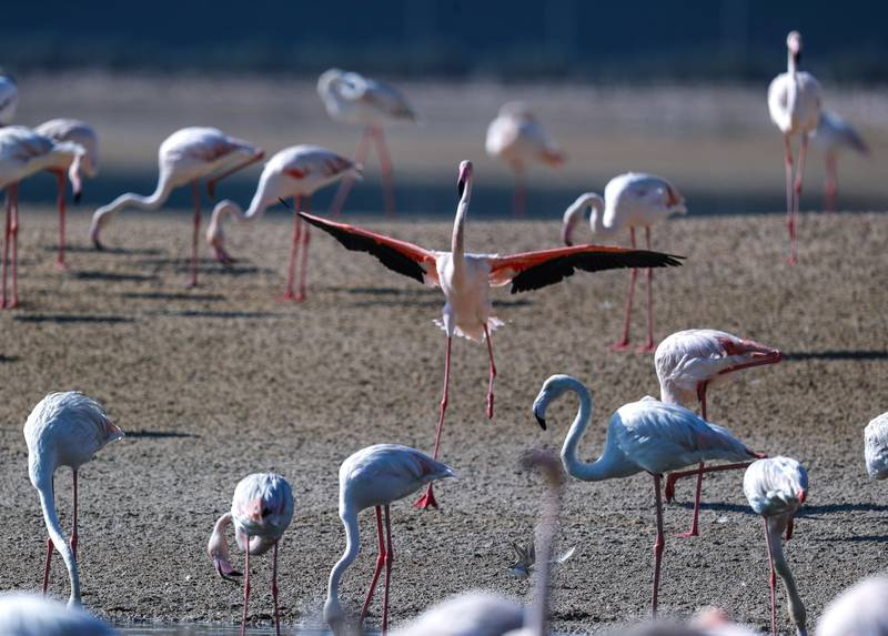 Abu Dhabi, United Arab Emirates, January 6, 2021.  Flamingos bathe in the sun on a Wednesday morning at the Al Wathba Wetland Reserve.  Victor Besa/The NationalSection:  NAReporter: