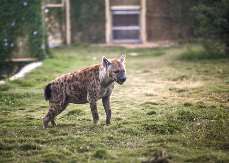 December 12, 2017.   Dubai Safari, Al Awir Road.  Media tour of the Dubai Safari.  A hyena roving around its area. Victor Besa for The NationalNationalReporter:  Nick Webster