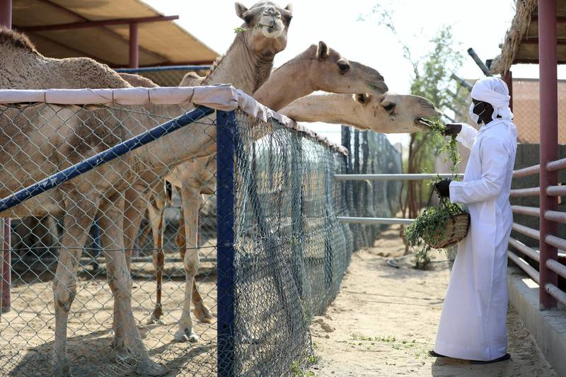 Dubai, United Arab Emirates - Reporter: N/A. News. Covid-19/Coronavirus. Yannick from The Camel farm tourist attraction feeds a camel with Covid-19 precautions in place. Saturday, October 10th, 2020. Dubai. Chris Whiteoak / The National