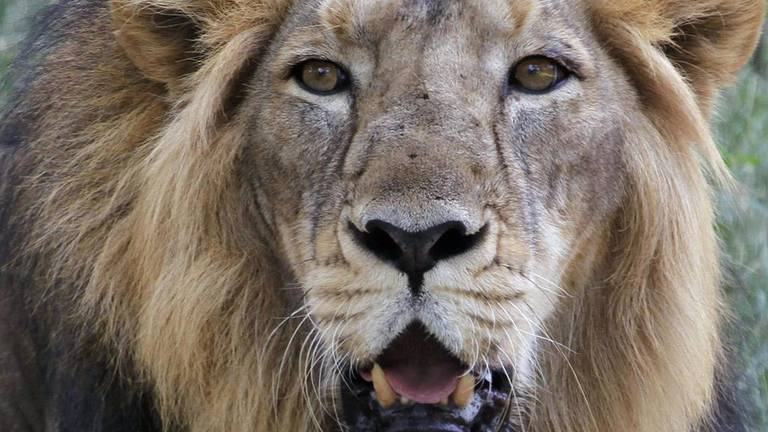 An image that illustrates this article Into the lion's den: the controversy surrounding India's big cats