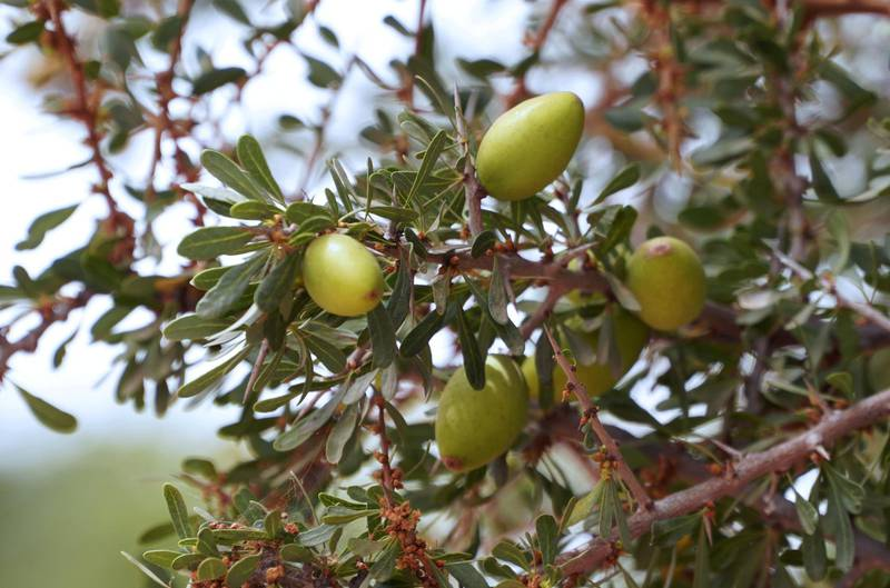 Argan fruits are pictured on a tree in Tiout, near Taroudant, Morocco June 9, 2021. Picture taken June 9, 2021. REUTERS/Abdelhak Balhaki