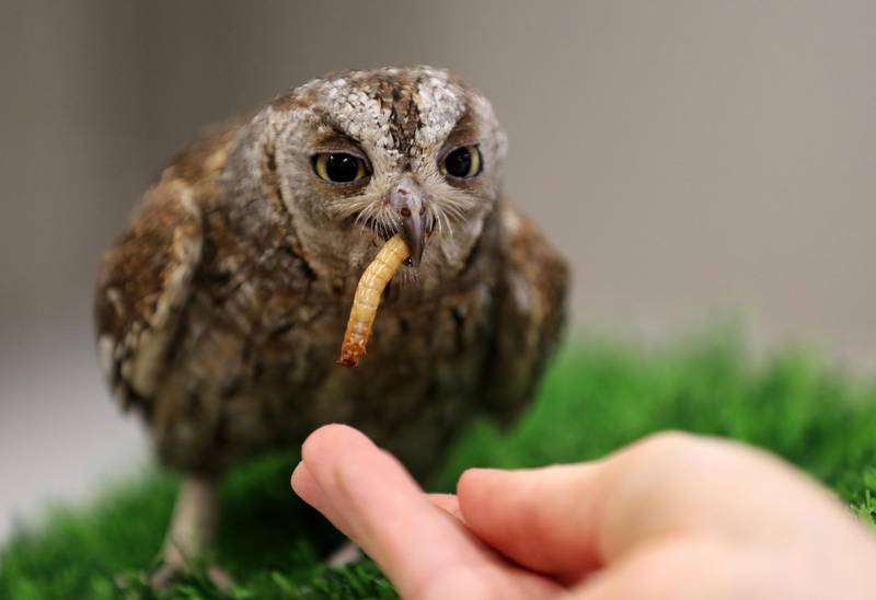 A baby scops owl is weighed and fed by biologist Katie Zimmerman at the Green Planet. A day in the life of keepers at the Green Planet in Dubai on June 16th, 2021. Chris Whiteoak / The National.  Reporter: N/A for Lifestyle