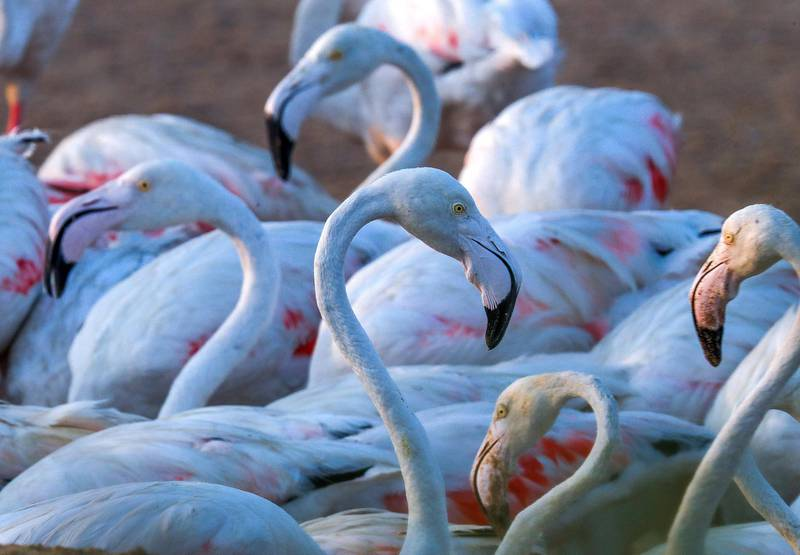 Abu Dhabi, United Arab Emirates, August 6, 2020. A record 876 flamingo chicks hatched at Abu Dhabi's Al Wathba Wetland Reserve this season.Victor Besa /The NationalSection: NAFor:  Standalone/Big Picture