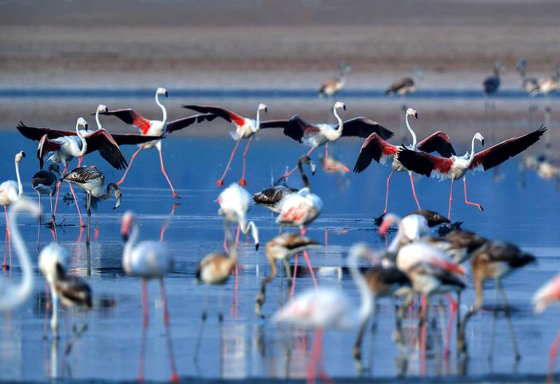 Abu Dhabi, United Arab Emirates, August 6, 2020.  Al Wathba Wetland was declared a reserve in 1998 by Sheikh Zayed, the Founding Father.It was established as a protected area following the first successful breeding of flamingos.Victor Besa /The NationalSection: NAFor:  Standalone/Big Pictire