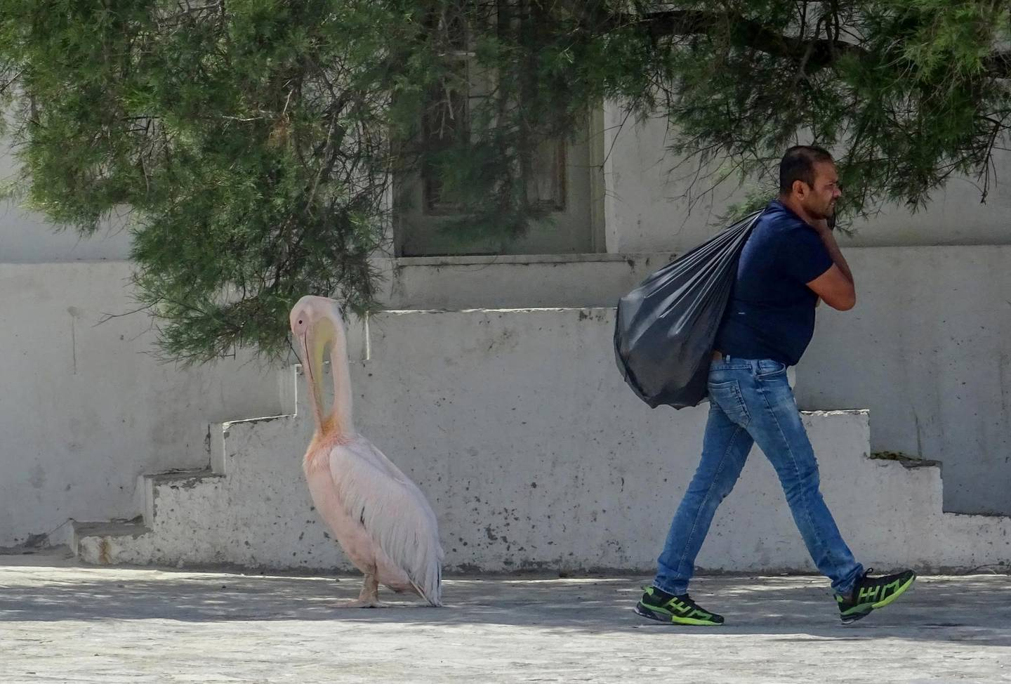 In this Saturday, June 7, 2020 photo, a worker walks past a pelican in the main town of the Greek island of Mykonos, Greece. Business owners and locals officials on the Greek holiday island of Mykonos, a popular vacation spot for celebrities, club-goers, and high rollers, say they are keen to reopen for business despite the risks of COVID-19 posed by international travel. Greece will officially launch its tourism season Monday, June 15, 2020 after keeping the country's infection rate low. (AP Photo/Derek Gatopoulos)