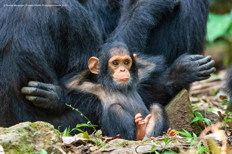 The Comedy Wildlife Photography Awards 2019Thomas MangelsenJacksonUnited StatesPhone: 307-733-6179Email: andrew@mangelsenstock.comTitle: Laid BackDescription: On the last day in Gombe Stream National Park, magic happened when a family group of a dozen chimps came down from the trees into a clearing. It was almost as if to offer a greeting to their most passionate human advocate, Dr. Jane Goodall. This photograph is of a ten-month-old chimp named Gombe, grandson of Gremlin—a chimp that Jane studied and knew well. Gombe was leaning against his mother, Glitter. This image speaks to the similar behaviors between our closest relatives in the animal world.Animal: ChimpanzeeLocation of shot: Gombe Stream National Park, Tanzania