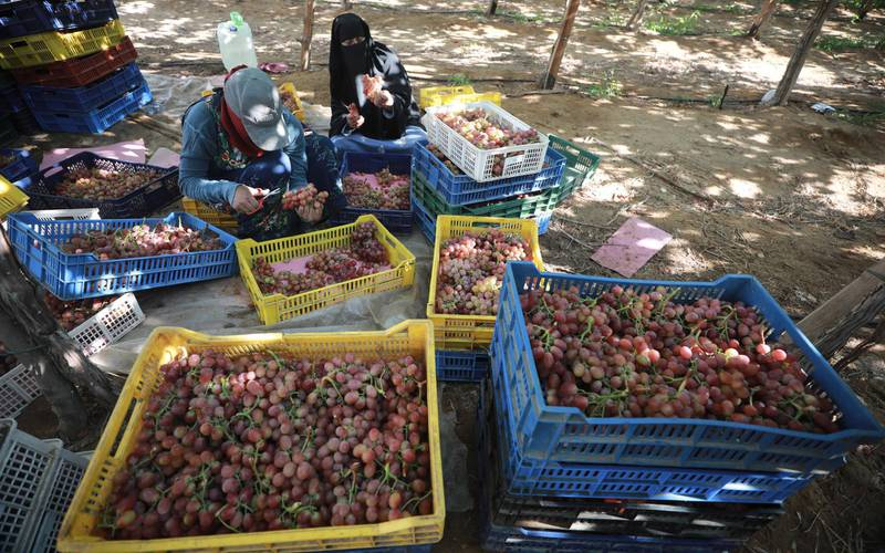 epa09270272 Worker harvest grape at the farm in Khatatba al-Minufiyah Governorate in Egypt, 14 June 2021. Table grape of this farm is exported to the EU countries, mainly Germany, England and Netherlands.  EPA-EFE/KHALED ELFIQI *** Local Caption *** 56967349