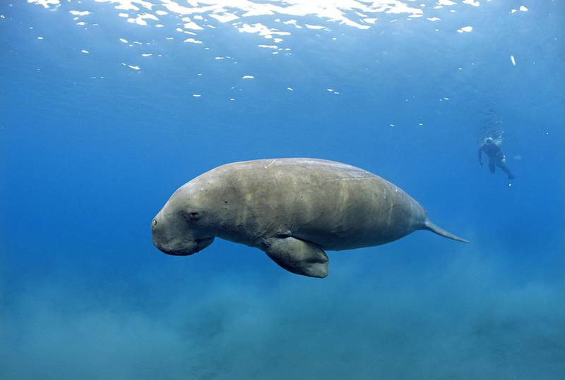 Sea cow (Dugong dugon) - IUCN status: Vulnerable - Locally, boat strikes and fishing net entanglement is a threat, although there are major conservation efforts - The population in UAE waters is thought to be several thousand
