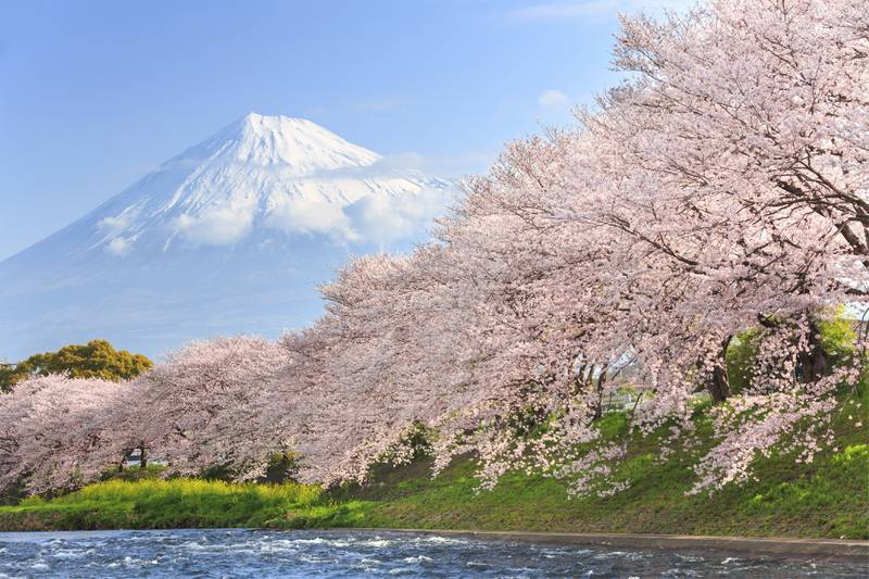 Cherry blossoms or Sakura and Mountain Fuji in background at the river in the morning (iStockphoto.com) *** Local Caption ***  ut21ma-ak-japan01.jpg