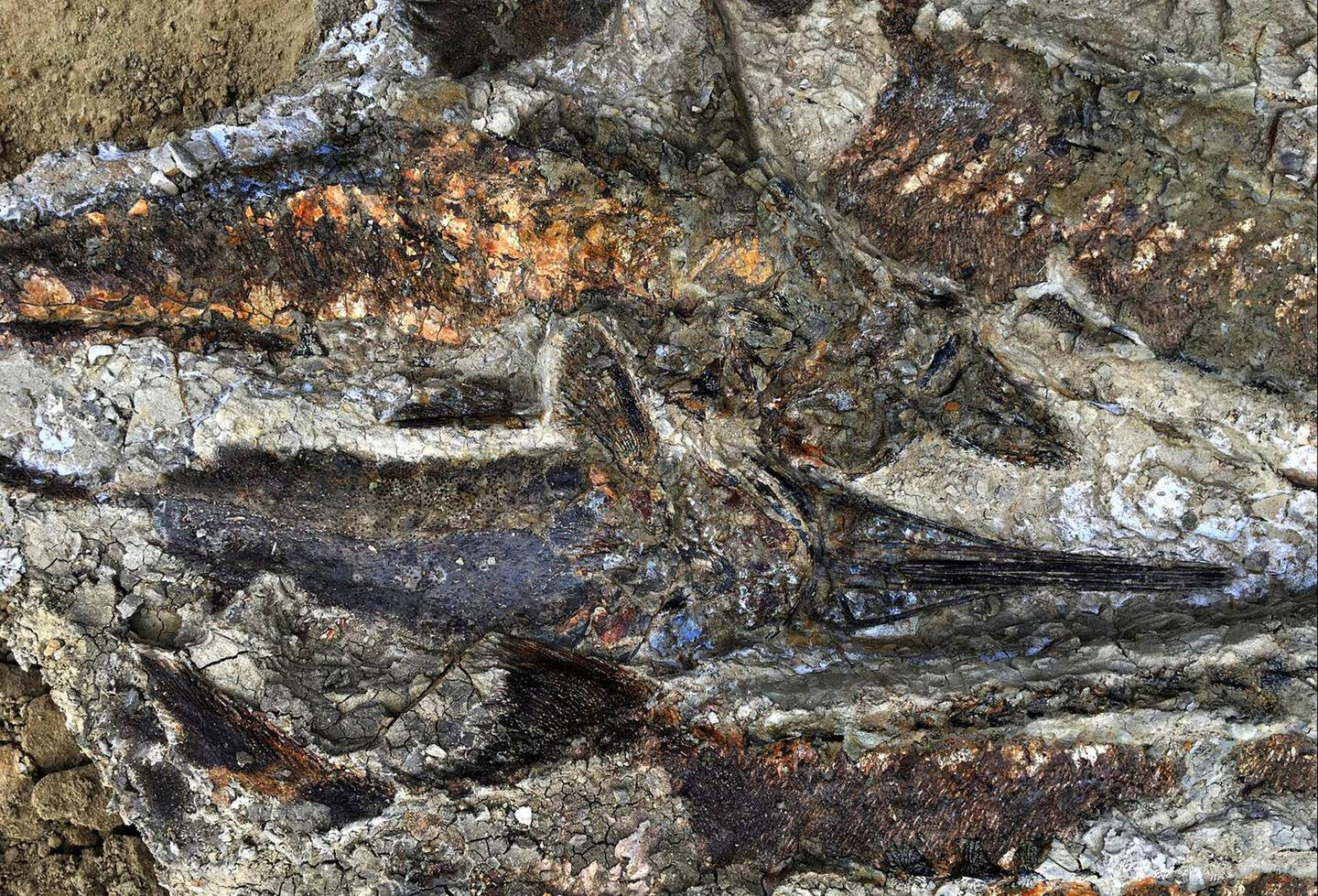 """This handout photo obtained March 30, 2019 courtesy the University of Kansas shows a partially exposed, perfectly preserved 66-million-year-old fish fossil uncovered by Robert DePalma and his colleagues. - The scientists have discovered the fossilized remains of a mass of creatures that died minutes after a huge asteroid slammed into the Earth 66 million years ago, sealing the fate of the dinosaurs. In a paper to be published April 1, 2019, a team of Kansas University paleontologists say they found a """"mother lode of exquisitely preserved animal and fish fossils"""" in what is now North Dakota. The asteroid's impact in what is now Mexico was the most cataclysmic event ever known to befall Earth, eradicating 75 percent of the planet's animal and plant species, extinguishing the dinosaurs and paving the way for the rise of humans. (Photo by Robert DePalma / Kansas University / AFP) / XGTY / RESTRICTED TO EDITORIAL USE - MANDATORY CREDIT """"AFP PHOTO / University of Kansas"""" - NO MARKETING NO ADVERTISING CAMPAIGNS - DISTRIBUTED AS A SERVICE TO CLIENTS --- TO GO WITH AFP STORY :  """"Fossil 'mother lode"""" records Earth-shaking asteroid's impact: study."""""""