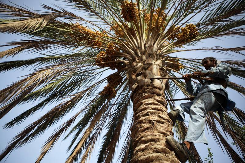 United Arab Emirates - Abu Dhabi - July 1st, 2010:  Palm tree caretakers take advantage of the early morning for the cool temperatures.  (Galen Clarke/The National) for istabsir