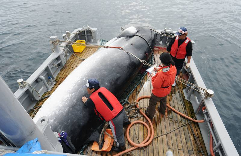 In this Sept. 2013, photo, a minke whale is unloaded at a port after a whaling for scientific purposes in Kushiro, in the northernmost main island of Hokkaido. Japan says it is leaving the International Whaling Commission to resume commercial hunts but says it will no longer go to the Antarctic to hunt. Chief Cabinet Secretary Yoshihide Suga said Wednesday, Dec. 26, 2018,  that Japan's commercial whaling will be limited to its territorial and economic waters.(Kyodo News via AP)