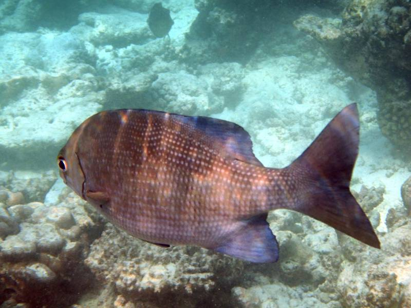 Emperor Fish (Lethrinus nebulosus) on the house reef of Thulhagiri Island, situated in the North Male Atoll, Republic of the Maldives, in the Indian Ocean. Since 2014 most of the Maldivian coral reef has been struck by severe coral bleaching due to climate change.