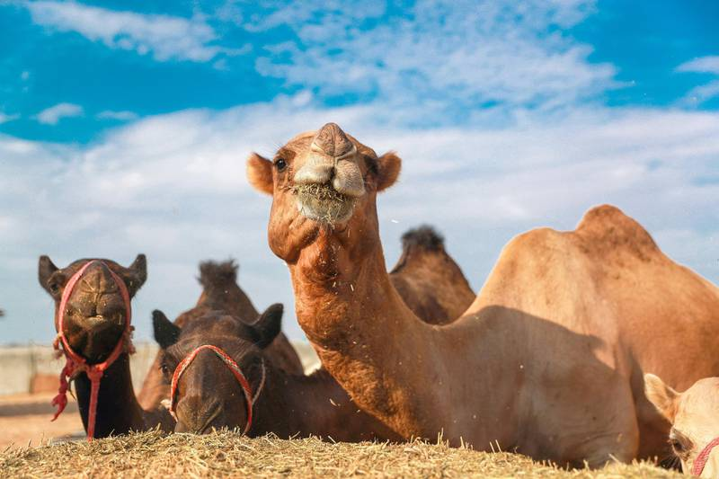 Abu Dhabi, U.A.E., October 19, 2018.  Quest TV game show at the Al Ain desert. -- At the camel farm.  Before the start of the Quest Show.Victor Besa / The NationalSection:  NAReporter:  Haneen Dajani