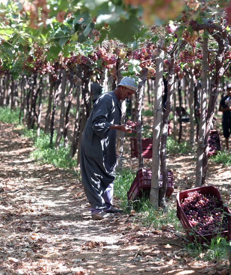 epa09270376 A worker harvests grape at the farm in Khatatba al-Minufiyah Governorate in Egypt, 14 June 2021. Table grape of this farm is exported to the EU countries, mainly Germany, England and Netherlands.  EPA-EFE/KHALED ELFIQI *** Local Caption *** 56967453