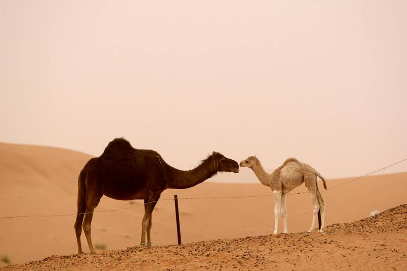 AL AIN, UNITED ARAB EMIRATES - February 12, 2009: A young camel interacts with an adult camel at a farm property in Al Ain, during a sandstorm.(Ryan Carter / The National)Stock *** Local Caption ***  RC006-StockFarm.JPGRC006-StockFarm.JPG