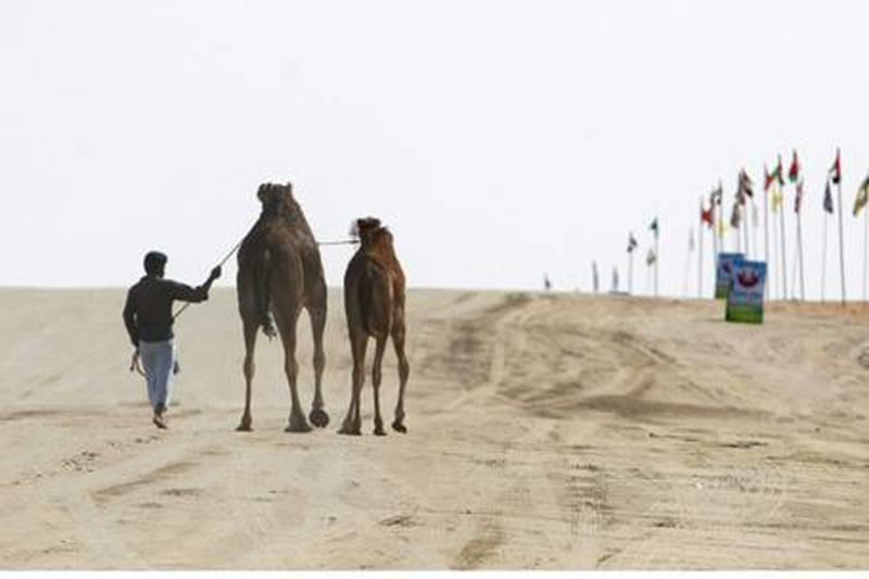 United Arab Emirates - Madinat Zayed - Jan 29 - 2010 : Camel wrangler direct the animal at the Al Dhafra Festival. ( Jaime Puebla / The National ) *** Local Caption ***  JP Camel Festival 03.jpg