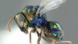 Hyperparasitic wasp discovered in UAE