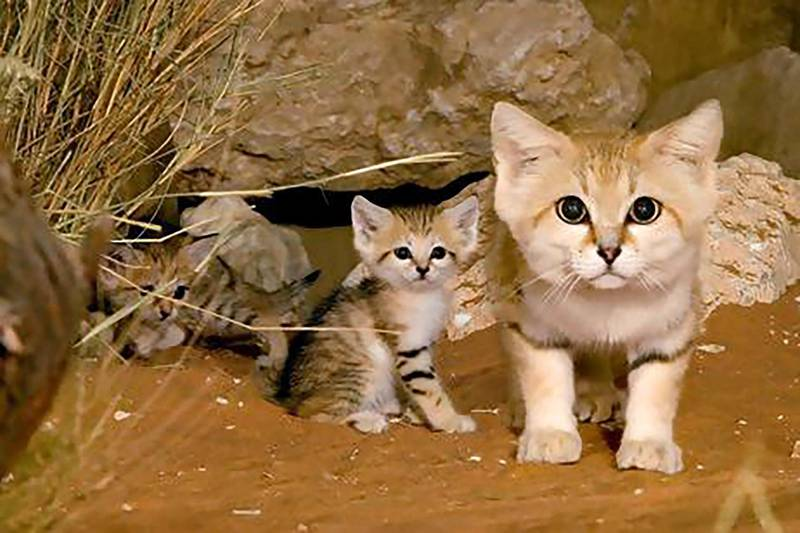 Sand dune cat (Felis margarita) - IUCN status: Least concern - Nocturnal creatures that live in shallow burrows and hunt rodents - Research published in 2005 indicated that only 250 remained in Abu Dhabi emirate; breeding programmes, including Al Ain Zoo's, aim to increase numbers. Courtesy Al Ain Zoo