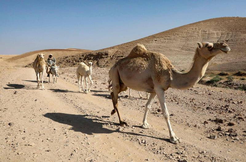 """A Palestinian shepherd tends to his camels on arid land considered to be in """"Area C"""" (under Israeli security and administrative control), southeast of Yatta town in the southern West Bank district of Hebron, on May 28, 2020. A Netanyahu-Gantz agreement includes a framework for implementing annexations outlined in US President Donald Trump's controversial plan to resolve the Israeli-Palestinian conflict. Some 60 percent of the West Bank territory, dubbed Area C, remains under full Israeli civil and military control. That includes all Israeli settlements and Trump's plan gives US support for their annexation.  / AFP / HAZEM BADER"""