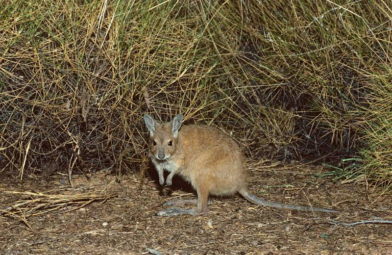 mala or Rufous hare-wallaby (Lagorchestes hirsutus), by spinifex. Tanami Desert, Northern Territory, Australia. Getty Images